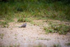 Duvafågel på jordningen Royaltyfri Fotografi