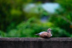 Duvafågel på naturbokebakgrund fotografering för bildbyråer