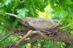 Duvafågel Rede av en fågel i naturen Fotografering för Bildbyråer