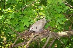 Duvafågel Rede av en fågel i naturen Arkivfoton
