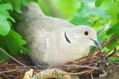 Duvafågel Rede av en fågel i naturen Royaltyfri Fotografi