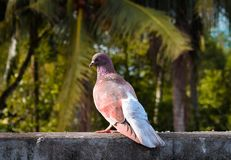 Duvafågeln royaltyfria foton