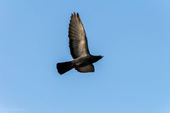 Duvafågelsymbol av fred arkivbilder