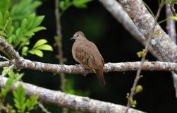 Duvan dök i träd under sommar i Costa Rica, fågel-härlig fred royaltyfria foton