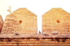 Duvan eller duvan Columba Livia är flyga och stå på den forntida väggen på den Tha phaeporten med solljus wallpaper för textur fö arkivbilder