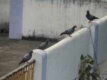 Duvan eller vaggar duvan eller vaggar duvan eller den Columba Livia fågeln i Indien Royaltyfria Bilder