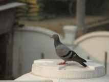 Duvan eller vaggar duvan eller vaggar duvan eller den Columba Livia fågeln i Indien Royaltyfria Foton