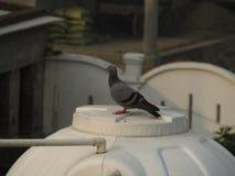 Duvan eller vaggar duvan eller vaggar duvan eller den Columba Livia fågeln i Indien Arkivbilder