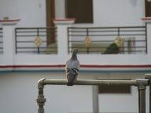 Duvan eller vaggar duvan eller vaggar duvan eller den Columba Livia fågeln i Indien Royaltyfri Bild