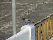 Duvan eller vaggar duvan eller vaggar duvan eller den Columba Livia fågeln i Indien Royaltyfri Foto