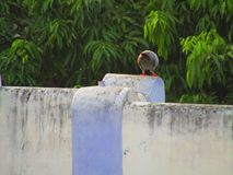 Duvan eller vaggar duvan eller vaggar duvan eller den Columba Livia fågeln i Indien Arkivbild