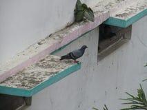 Duvan eller vaggar duvan eller vaggar duvan eller den Columba Livia fågeln i Indien Royaltyfri Fotografi