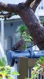 Duvan sätta sig på ett staket under ett sörjaträd i min trädgård i Japan Royaltyfria Bilder