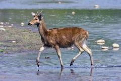 Duvaucelii del Cervus, ciervo del pantano que cruza el río de Karnali, Bardia, Nepal Imágenes de archivo libres de regalías