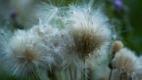 Duvet blanc des wildflowers balançant dans le vent faible dans le pré une soirée d'été banque de vidéos