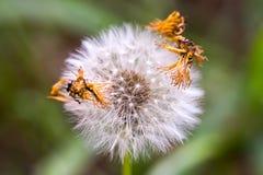 Duvet de graine de pissenlit avec quelques p?tales secs photographie stock