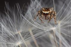 Duvet sautant d'araignée et de pissenlit photo stock