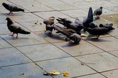 Duvor äter bröd Royaltyfri Foto