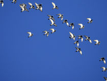 Duvor flock av som flyger royaltyfri fotografi