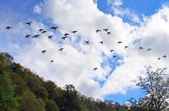 Duvor flyger i den blåa himlen Royaltyfria Foton