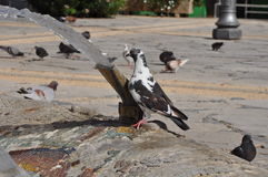 Duvor i Cypern Fotografering för Bildbyråer