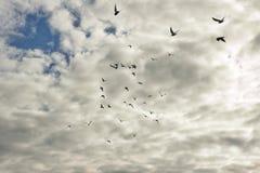 Duvor i flyght Arkivfoto