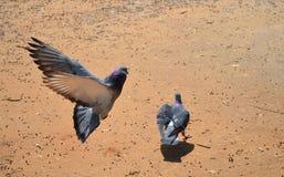 Duvor i flykten Royaltyfri Bild