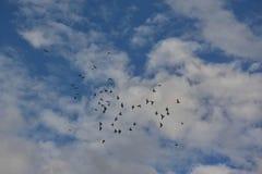 Duvor i flykten Arkivbilder