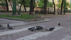 Duvor i gatan pickar i sommarafton arkivfilmer