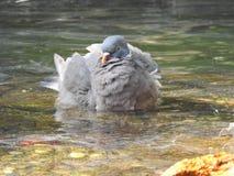 Duvor i vattnet arkivfoton