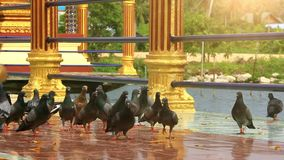 Duvor nära en tempel på Koh Samui thailand HD lager videofilmer