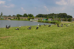 Duvor på en sjö Arkivfoton