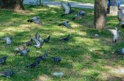 Duvor på parkerar royaltyfria bilder