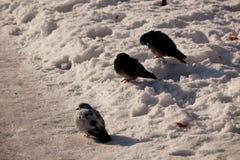 Duvor på snön Royaltyfri Foto