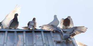 Duvor på taklägga arkivbild