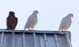 Duvor på taklägga fotografering för bildbyråer
