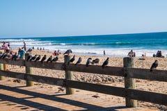 Duvor på trästaketet på Laguna Beach arkivbilder