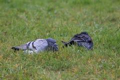 Duvor på vått gräs Arkivfoton