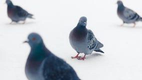 Duvor på vit bakgrund Fotografering för Bildbyråer