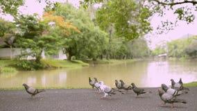 Duvor parkerar offentligt nära det naturliga dammet lager videofilmer