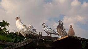 duvor sitter på taket royaltyfria foton