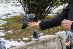 Duvor som äter från handen Arkivfoto