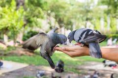Duvor som förestående äter matning Fotografering för Bildbyråer
