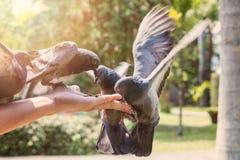 Duvor som förestående äter matning Arkivbilder