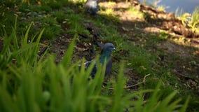 Duvor som går på gräset i parkera lager videofilmer