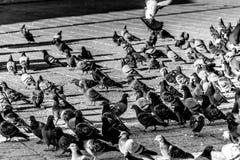 Duvor som omkring går royaltyfri fotografi