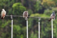 Duvor som sitter på en tråd Royaltyfri Fotografi