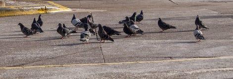 Duvor som tillsammans flockas på trottoar i höstsolsken fotografering för bildbyråer