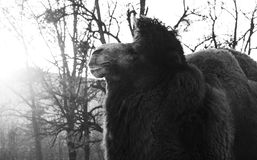Duży dwugarbny wielbłąd w profilu, czarny i biały fotografia Obraz Royalty Free
