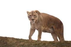 Duży dziki kot Fotografia Stock